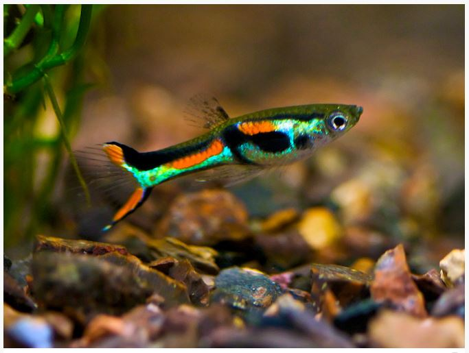 Male-Endlers-Livebearer-Fish