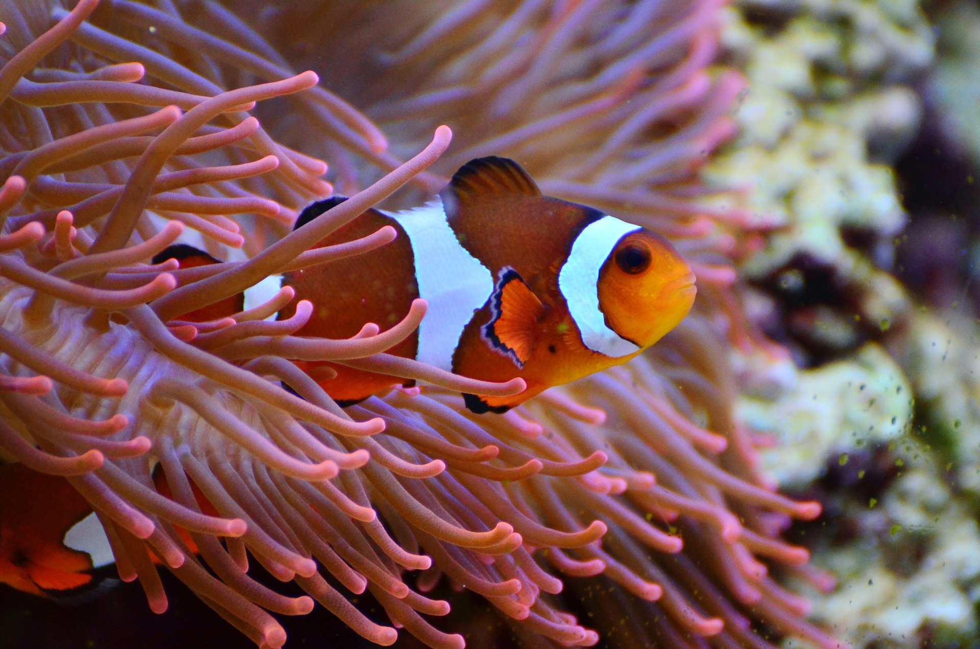 anemone fish on aquarium