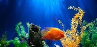 Goldfish on a fishtank