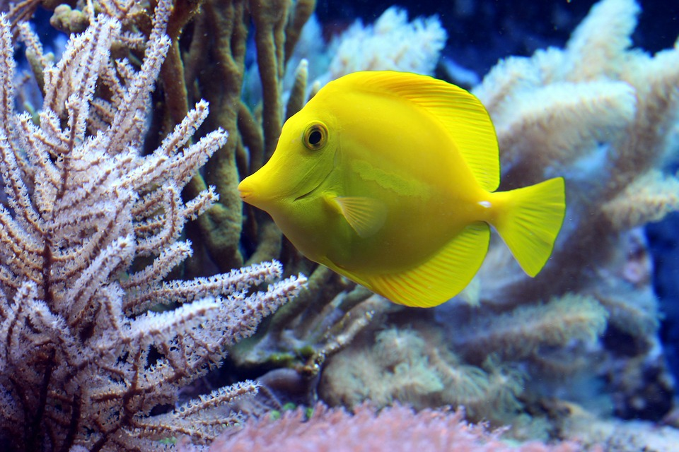 yellow fish and coral reefs